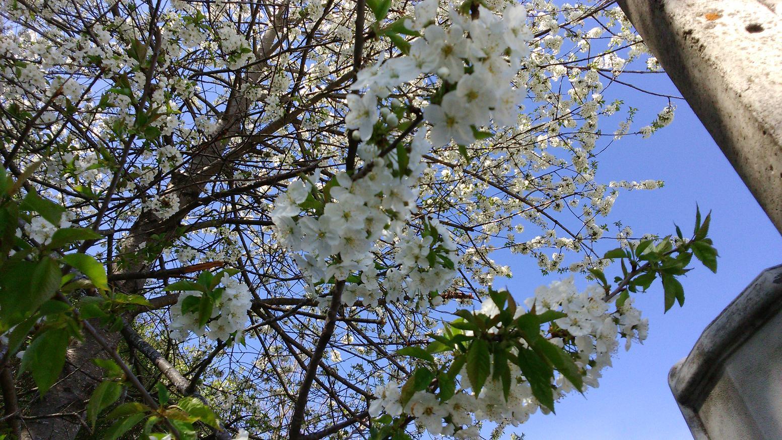 arbre en fleurs mai 2015