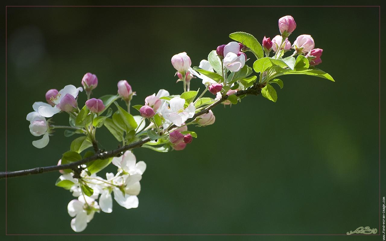 le pommier de lana en fleur